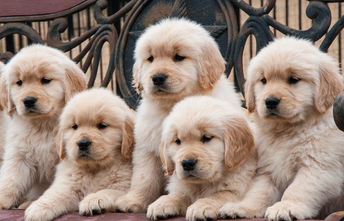 SC Dog Shop cung cấp đa dạng giống chó cảnh chất lượng tại TPHCM