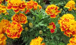 Cách trồng hoa vạn thọ tết đẹp đến phát mê 1