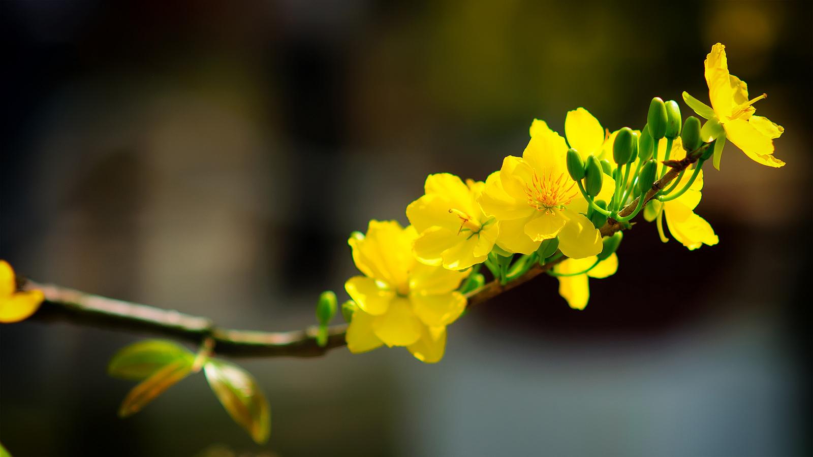 Cách chọn hoa mai tươi lâu