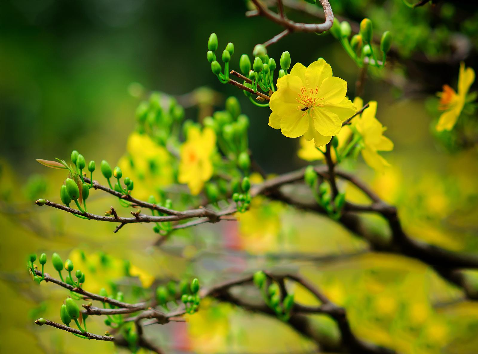 Tỉa cành để đẩy lùi quá trình ra hoa của cây mai