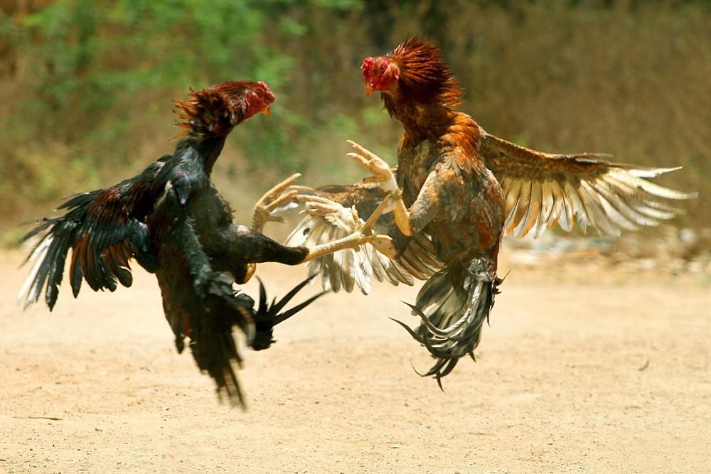 Chọi gà