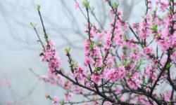 Cách chăm sóc hoa đào ngày tết chi tiết nhất 2