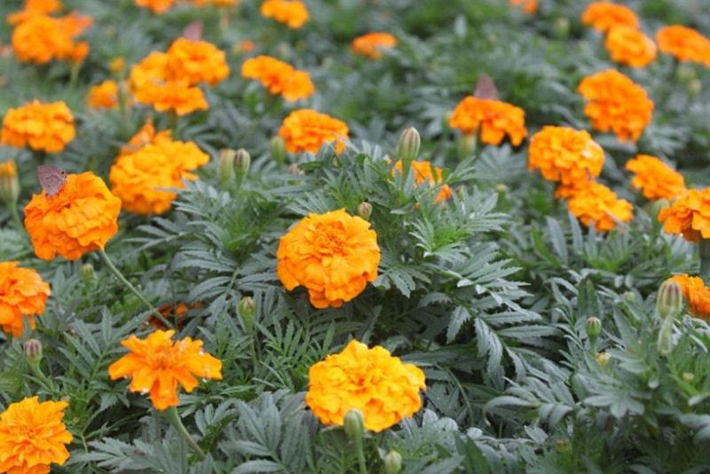 Cách trồng hoa vạn thọ nở đẹp và đúng tết