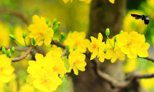 Cách kích thích hoa mai ra nụ đúng ngày tết đến xuân về