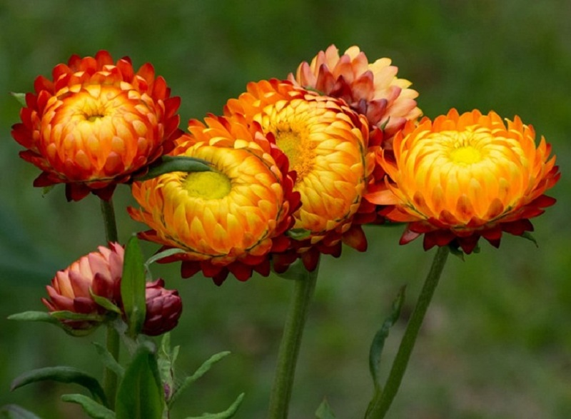 Hoa bất tử chưng được dài ngày hơn