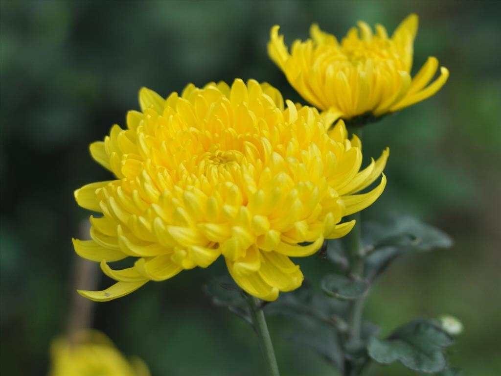 Cách chọn hoa cúc tươi lâu