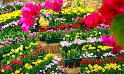 Kinh nghiệm chọn mua hoa chưng tươi lâu hết Tết vẫn chưa tàn 1