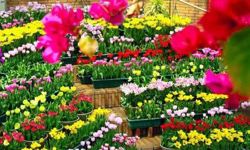 Kinh nghiệm chọn mua hoa chưng tươi lâu hết Tết vẫn chưa tàn 11