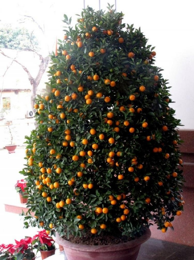 Chăm sóc cây quất sau Tết giúp lưu giữ thịnh khí quanh năm cho gia đình.