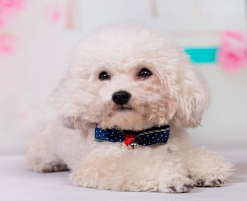 Dùng vòng đeo cổ cho chó bạn cần tuân thủ hướng dẫn sử dụng