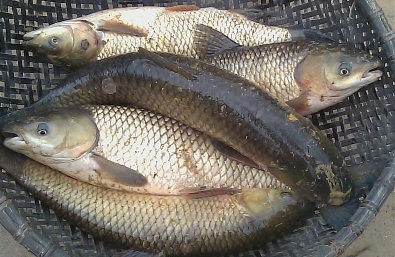 Chọn cá trắm tươi giúp món ăn ngon hơn