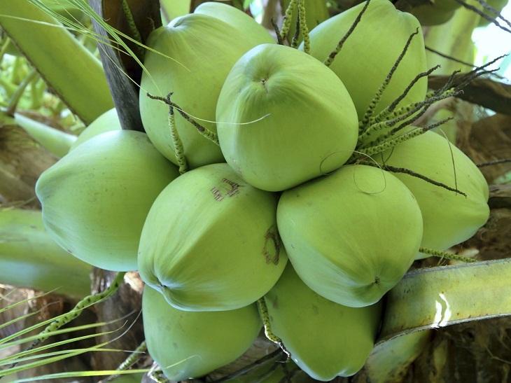 Dừa tươi ngon khi cuống dừa vẫn còn xanh, bám chắc vào phần quả dừa