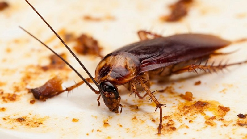 Gián là côn trùng chứ nhiều vi khuẩn có hại sức khỏe