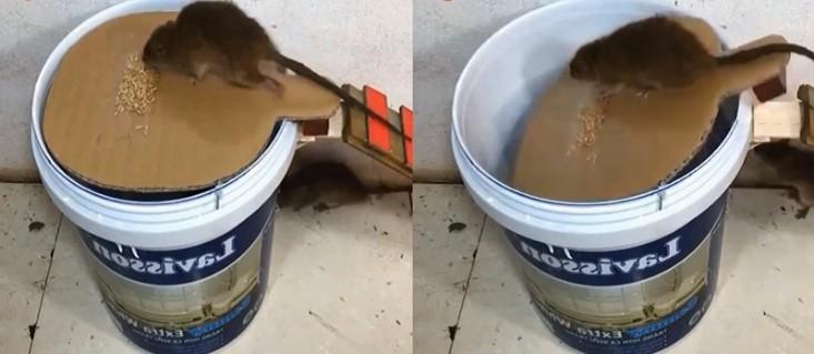 Cách bẫy chuột bằng giấy bìa cứng