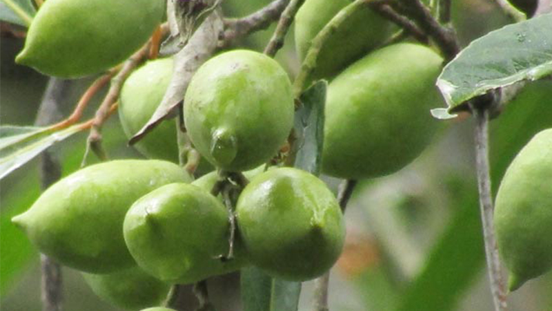 Cách làm cà na ngào đường Cà na cần chọn trái chín vàng vừa tới và không bị dập