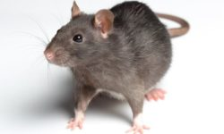10 cách đuổi chuột ra khỏi nhà không gây độc hại