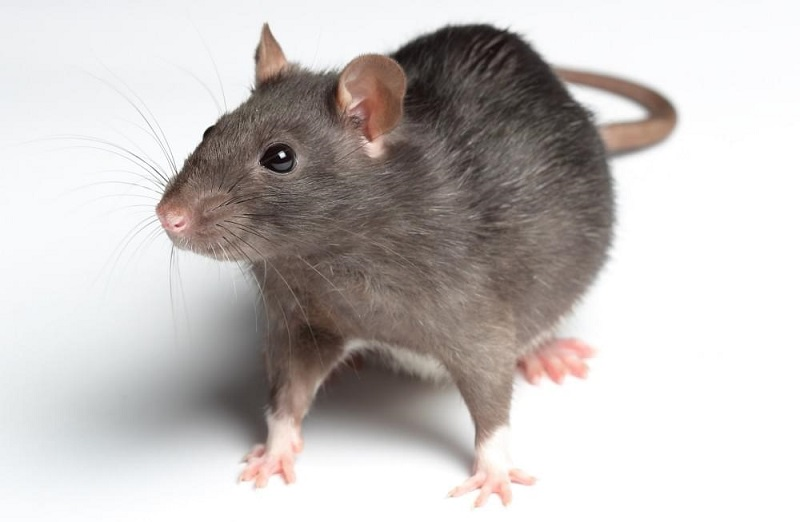 Cách đuổi chuột ra khỏi nhà bằng dầu mazut