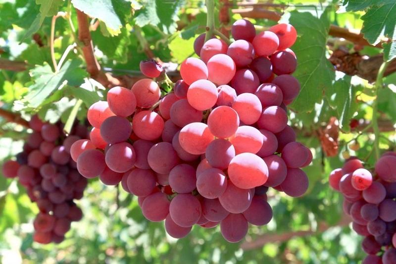 Nho là trái cây rất tốt cho sức khỏe của mọi người