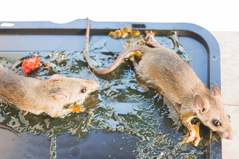 Kiểm tra độ an toàn của bẫy chuột khi mua