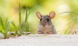 Top 5 bẫy chuột thông minh tốt nhất 2021